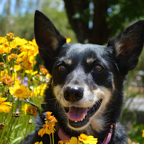 Australian Kelpie & flowers by Christil-Photography Bloemfontein - Animals - Dogs Portraits ( yellow flowers, australian kelpie, flowers, cute dog )