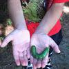 Five-spotted hawk moth (larva)