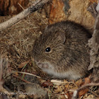 Cotton Rat
