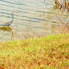 Tri Colored Heron
