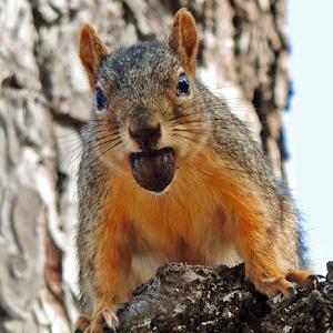A Squirrel and an Acorn.jpg