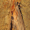 Franck's Sphinx moth