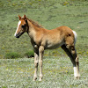 Basuto Pony and Foal