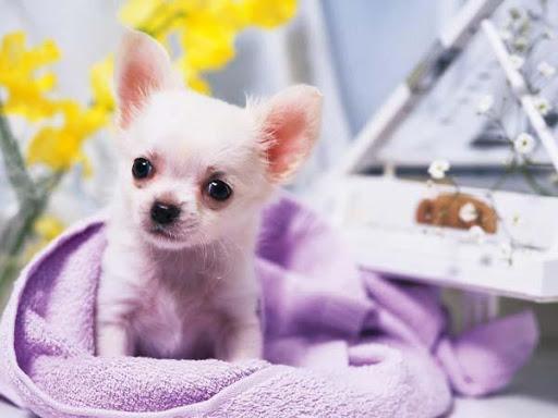 Imagenes Chihuahuas HD