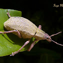 Short snouted weevil