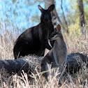 Wallaroo and Whiptail Wallaby
