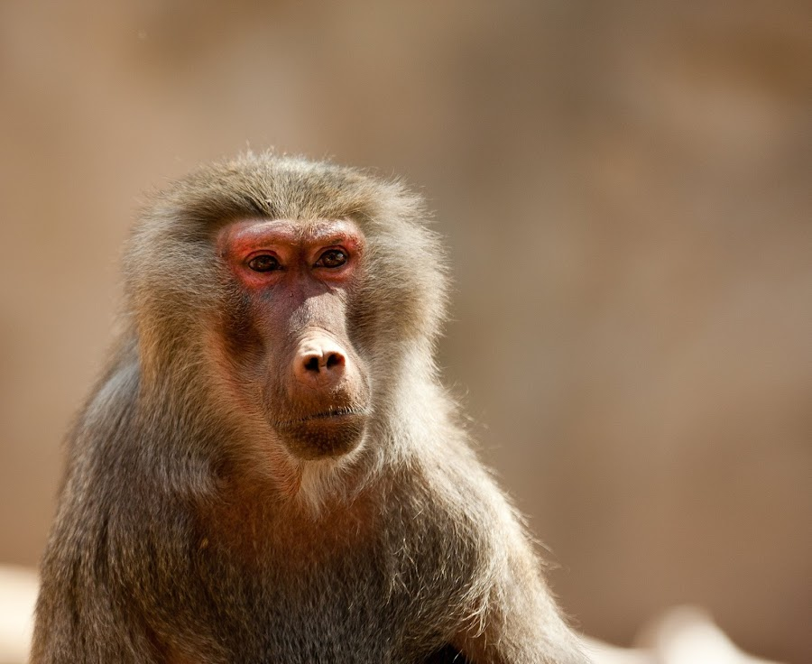 Pondering by Bert Jones - Animals Other Mammals ( bertjonesphotography )