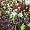 Pixie Cups with Moss and a few other Lichens