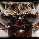 Jima Tiger Beetle