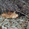 Periodical Cicada, molting