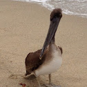 Atlantic Brown Pelican (Juvenile)