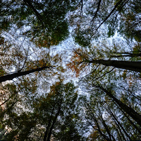 canopy by Kathleen Devai - Landscapes Forests ( trees branches sky leaves )