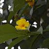 Markhamia, Nile tulip, Nile Trumpet or Siala tree