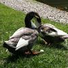 Domestic Ducks
