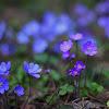 Common Hepatica, liverwort, kidneywort, pennywort