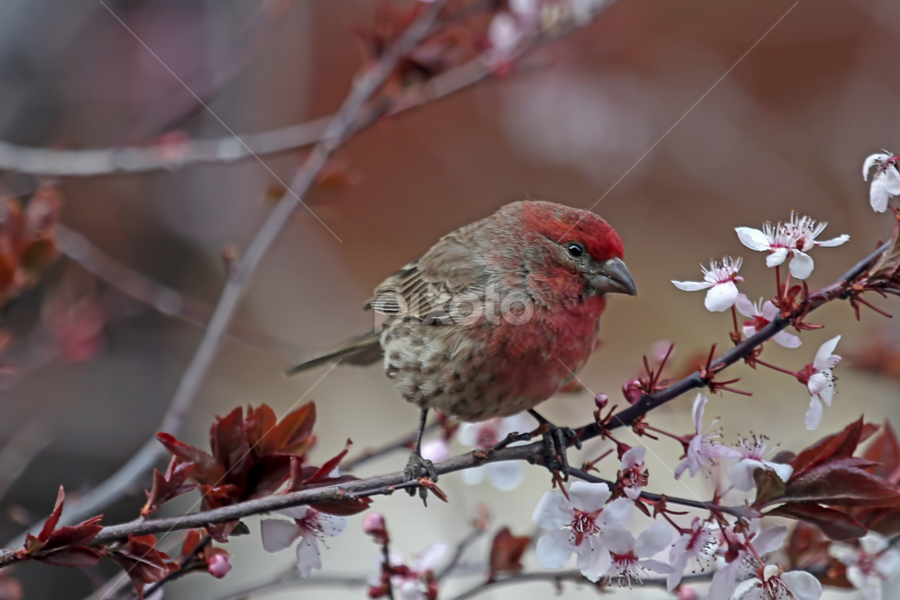 House Finch in a Cherry Tree by Janet Aguila Krause - Animals Birds ( house finch, cherry tree blossoms, finch,  )
