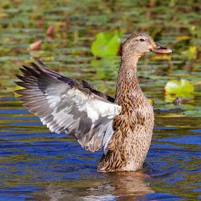 Female mallard duck wing flap by Sandy Scott - Animals Birds ( duck, water birds, birds, duck flapping wings, female mallard duck, mallard duck,  )