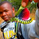 Milkweed Locust