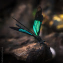 Philippine Blue Winged Torrent Dart