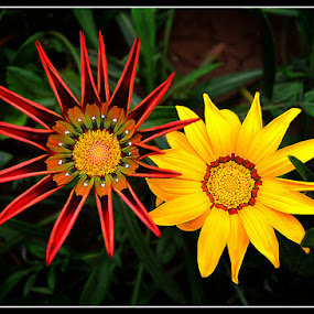 Red&Yellow by Ivan Ivanov - Flowers Flowers in the Wild ( red, red flower, yellow, flowers, yellow flower,  )