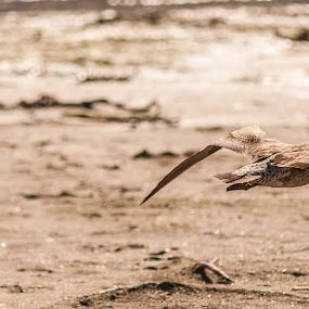 Young Sea Gull  by Malan Lombard - Animals Birds ( bird, flight, juvenile, sea gull, camouflage )