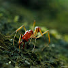 Trap-jaw Ant
