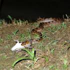 Cat-eyed snake
