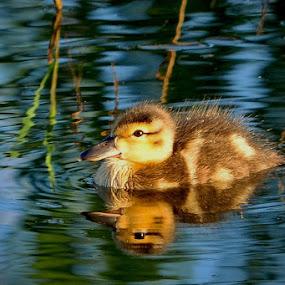 Baby duck by Janet Gilmour-Baker - Animals Birds ( animals, duckling, colorful, saskatchewan, birds, baby duck, fields,  )