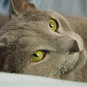 Mr Flis by Aleksander Cierpisz - Animals - Cats Portraits ( cat, russian, blue, green, grey, eyes,  )