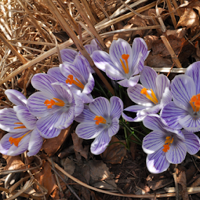 Wanting Spring by Corinne Noon - Flowers Flower Gardens ( spring colorful flowers, purple, petals, flowergarden, flowers, stripes )