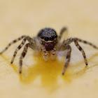 Bronze Jumping Spider