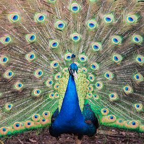 Peacock Proud by Deborah Felmey - Animals Birds ( bird, colors, showing off, feathers, bird photography, peacock,  )