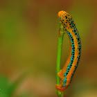 Blue Tiger Moth Caterpillar