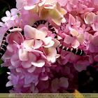 Paradise Flying Tree Snake