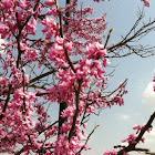 Eastern rosebud