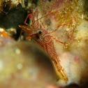 Hingeback Shrimp