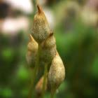 Haircap Moss, calyptras