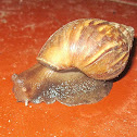 East African land snail