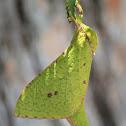 Splendid Ghost Moth (female)