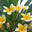 kamboja flower,moss