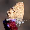 Samphire Blue  Butterfly