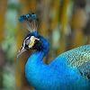 Indian peafowl or Blue peafowl