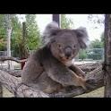 Koala Wallpapers , 壁紙 コアラ logo