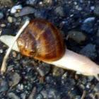 Albino Roman Snail