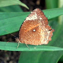 Common Palmfly,