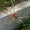 Wild Chive