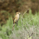 Rufous-Tailed Shrike (female)