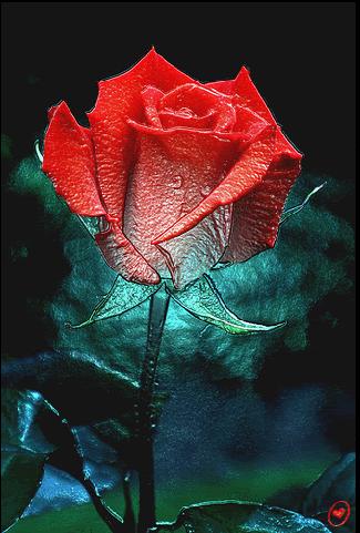 动态玫瑰壁纸
