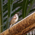 Indian house sparrow(Male)