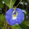 Clitoria / Blue pea / Butterfly pea